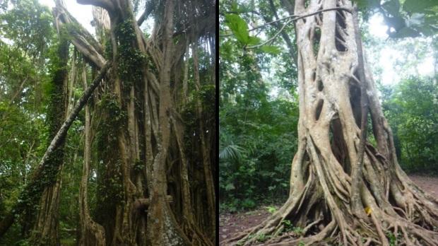 ficus trees boabeng fiema ghana