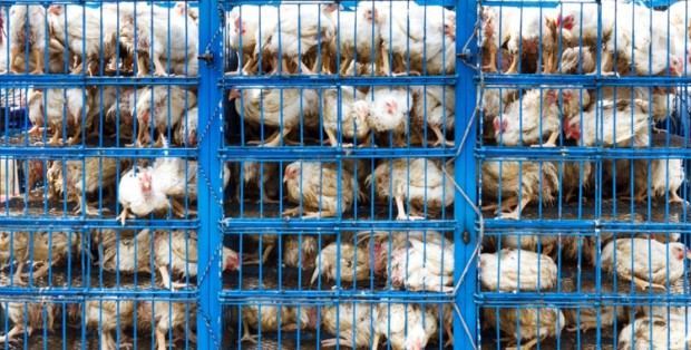 Factory Farmed Chicken